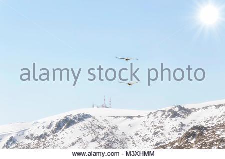 Regional park of La Pedriza, in Manzanares el Real ( Madrid - Spain ). Guadarrama mountain range. Two vultures flying - Stock Photo