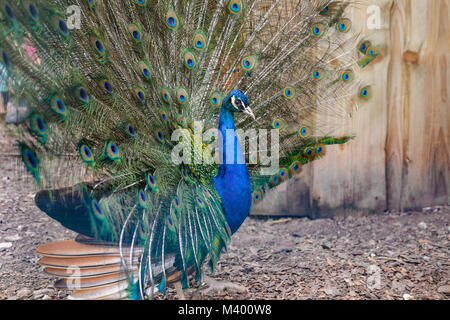 Portrait of beautiful male peacock showing his tail feathers out - Stock Photo