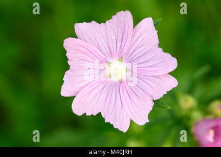 Rose mallow (Malva alcea), Rosen-Malve (Malva alcea) - Stock Photo