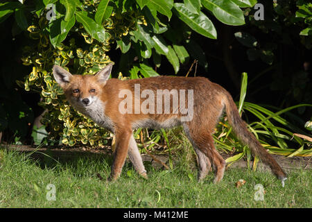 Close-up side view of urban red fox (Vulpes vulpes) isolated in UK garden. Looking like a mischievous Gremlin, he - Stock Photo
