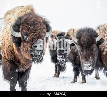 Plains Bison, (Bison bison bison) or American Buffalo, in winter, Manitoba, Canada. - Stock Photo