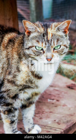 Tortoiseshell Cat with green eyes - Stock Photo