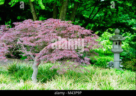 Red Maple in the park Planten un Blomen in Hamburg at daylight, selective focus. - Stock Photo