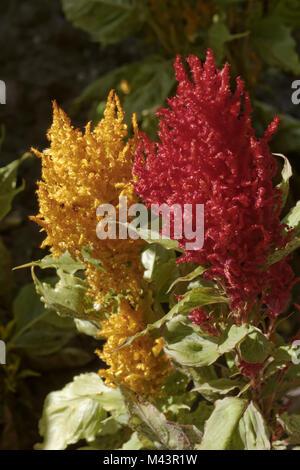 Celosia argentea, Plumed Cockscomb, Common Cocksc. - Stock Photo