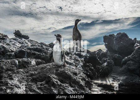 Galapagos Penguin and Flightless Cormorant resting on rocks, Seymour, Galapagos, Ecuador - Stock Photo