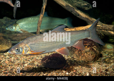 Common Nase (Chondrostoma nasus). Two adults under water. Germany - Stock Photo