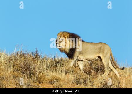 African Lion (Panthera leo). Black-maned Kalahari male, roaming on a grass-grown sand dune. Kalahari Desert, Kgalagadi - Stock Photo