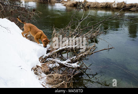 A red dog hunting along the snow covered banks in a marshy area of Bull River, on a 21ºF winter day, in Sanders - Stock Photo