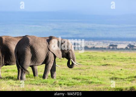 Elephants herd on African savanna. Safari in Amboseli - Stock Photo