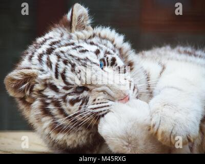 Cute playful white tiger - Stock Photo