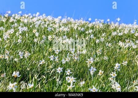 Blooming of daffodils. Valico di Valcava(Valcava Pass), Val San Martino, Prealpi Bergamasche, Bergamo province, - Stock Photo