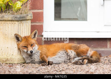 Kidderminster, UK. 15th February, 2018. UK weather: an urban fox takes a long rest in a quiet Worcestershire garden, - Stock Photo