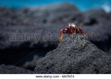 Sally Lightfoot crab perched on rocky mound - Stock Photo