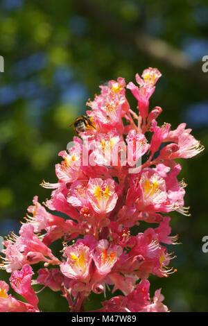 Aesculus x carnea Briotii, Red-flowering horse chestnut - Stock Photo