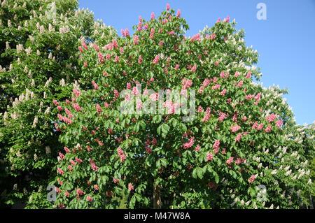 Aesculus x carnea Briottii, Red-flowering horse chestnut - Stock Photo