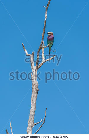Lilac-breasted roller perched on dead tree branch - Stock Photo