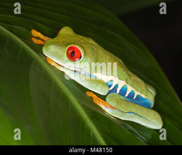 Red-eyed Tree frog (Agalychnis callidryas)on rainforest leaf, also known as Red-eye Leaf Frog - Stock Photo