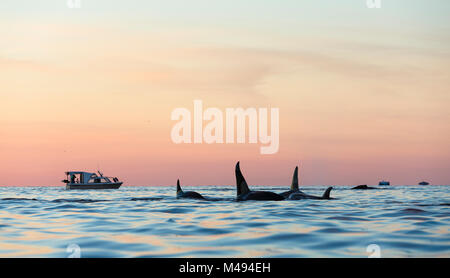 Killer whales / Orca (Orcinus orca) pod surfacing in calm water at dusk, boats in background. Kvaloya, Troms, Norway, - Stock Photo