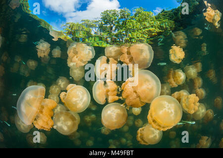 Aggregation of Golden jellyfish (Mastigias sp.) in a marine lake in Palau, the golden colour of this species comes - Stock Photo