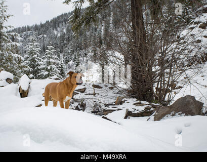 Red dog hunting along the snow covered trail, up on Eagle View, in the Cabinet Mountains, in Sanders County, Montana. - Stock Photo