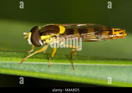 Sphaerophoria sp., a wasp-mimic hoverfly, resting on a blade of grass - Stock Photo