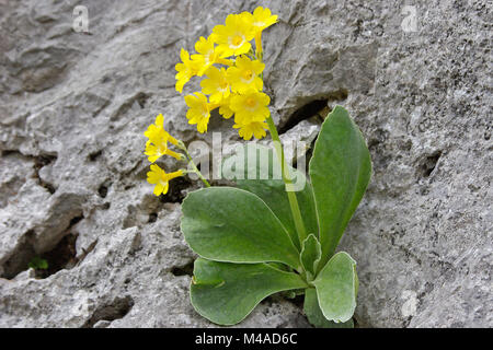 Yellow Primula Auricula growing on rock, Mountain Cowslip - Stock Photo