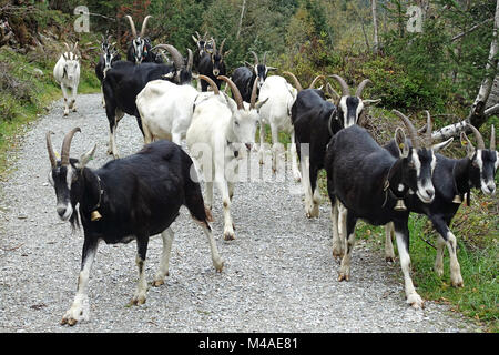 A Herd of black and white goats - Stock Photo