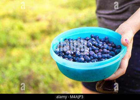 Woman holding blueberries in a casket and container in forest. Blue berries in woods. Woman gathering and picking - Stock Photo