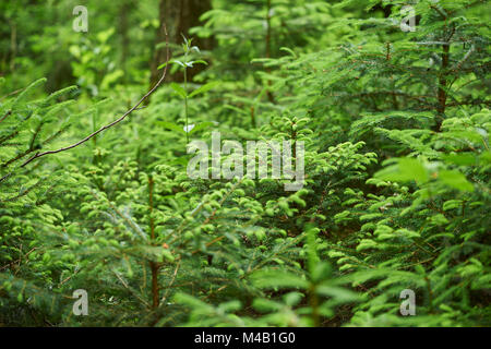 Young common spruces,Picea abies,close-up - Stock Photo