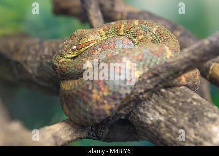 Eyelash Viper (Bothriechis Schlegelii)  slithering on a branch - Stock Photo