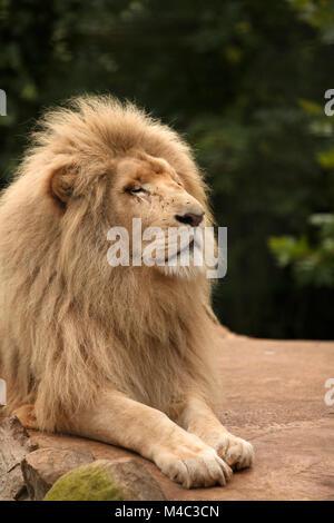 Proud lion portrait - Stock Photo
