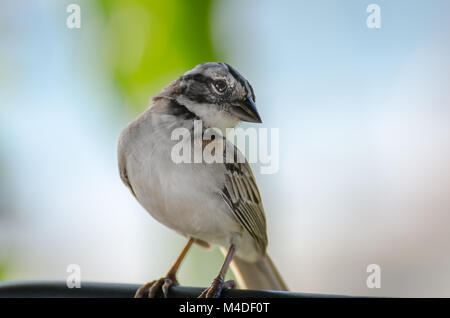 close up of a rufous collared sparrow perched - Stock Photo
