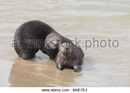 Playful Sea Otters. - Stock Photo