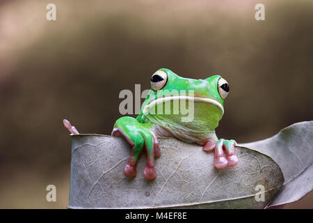 White lipped tree frog on a leaf,Indonesia - Stock Photo