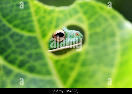 White lipped tree frog head seen through a hole in a leaf,Indonesia - Stock Photo