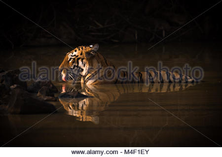 Bengal tiger drinking in shadowy water hole - Stock Photo
