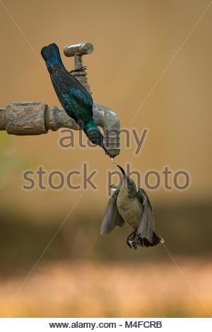 Pair of purple sunbirds drinking from tap - Stock Photo