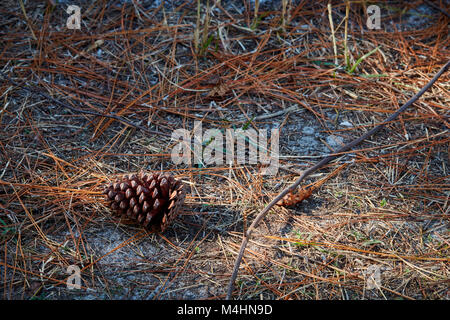 Pinecone and forest floor, Gulf State Park, Alabama - Stock Photo
