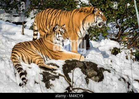 Two siberian tiger, Panthera tigris altaica, male and female resting in the snow in the forest. Zoo. - Stock Photo