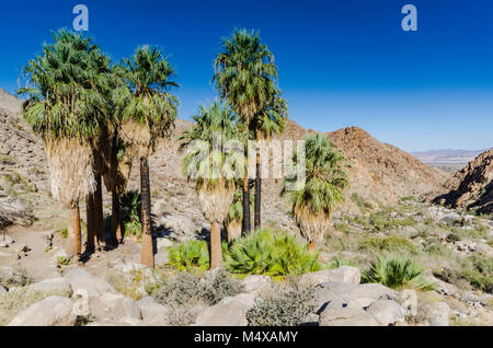 Bearded palm trees and mountain views on trail in Joshua Tree National Park. - Stock Photo
