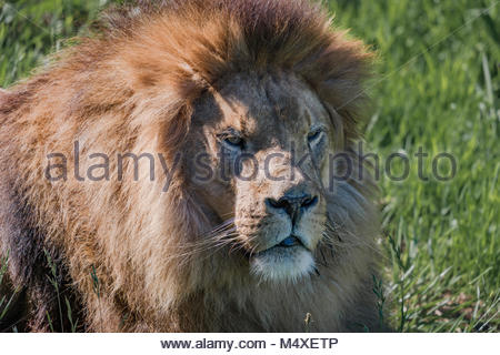 Close-up of male lion lying in grass - Stock Photo