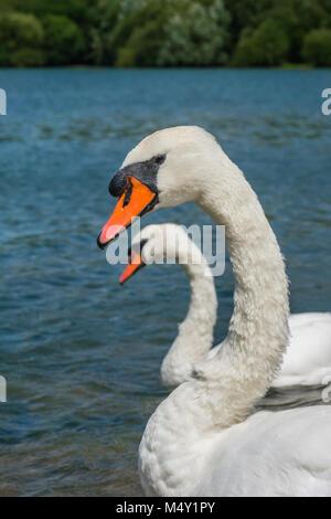 Beautiful two white swans - Stock Photo