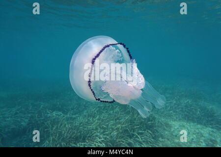 A barrel jellyfish Rhizostoma pulmo underwater in the Mediterranean sea, Cote d'Azur, France - Stock Photo