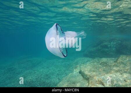 Underwater a barrel jellyfish, Rhizostoma pulmo, in the Mediterranean sea, Catalonia, Costa Brava, Cap de Creus, - Stock Photo