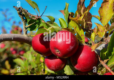 Red Delicious apples on the branch at Goolds Orchard, a pick your own apple picking farm in Castleton, New York, - Stock Photo