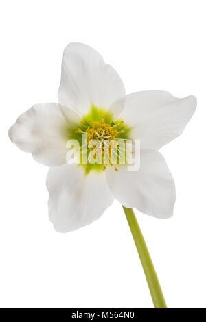 Hellebore flower (Christmas rose) isolated on white - Stock Photo