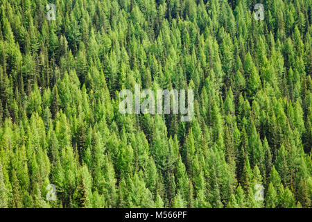 Aerial view of Larches at Taiga boreal forest in Altai Mountains of Western Mongolia - Stock Photo