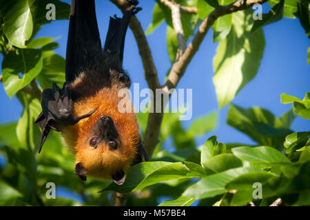 A Seychelles fruit bat or flying fox Pteropus seychellensis hanging from a branch and pointing with its finger while - Stock Photo