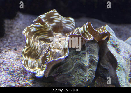 close up view of a giant tridacna clam - Stock Photo