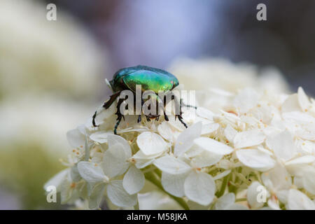 protaetia aeruginosa beetle on a flower - Stock Photo